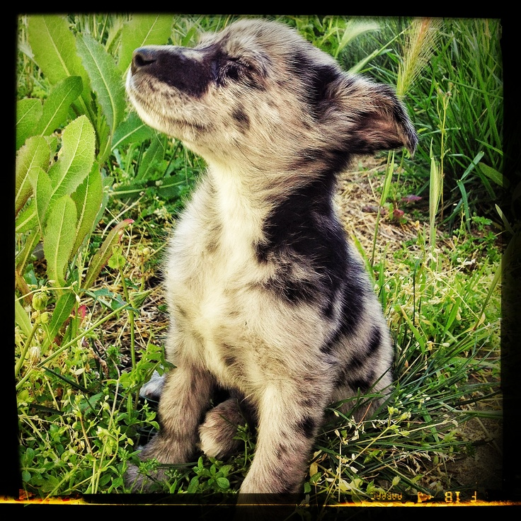 Labahoula (Labrador Retriever and Louisiana Catahoula Leopard Dog mix ...