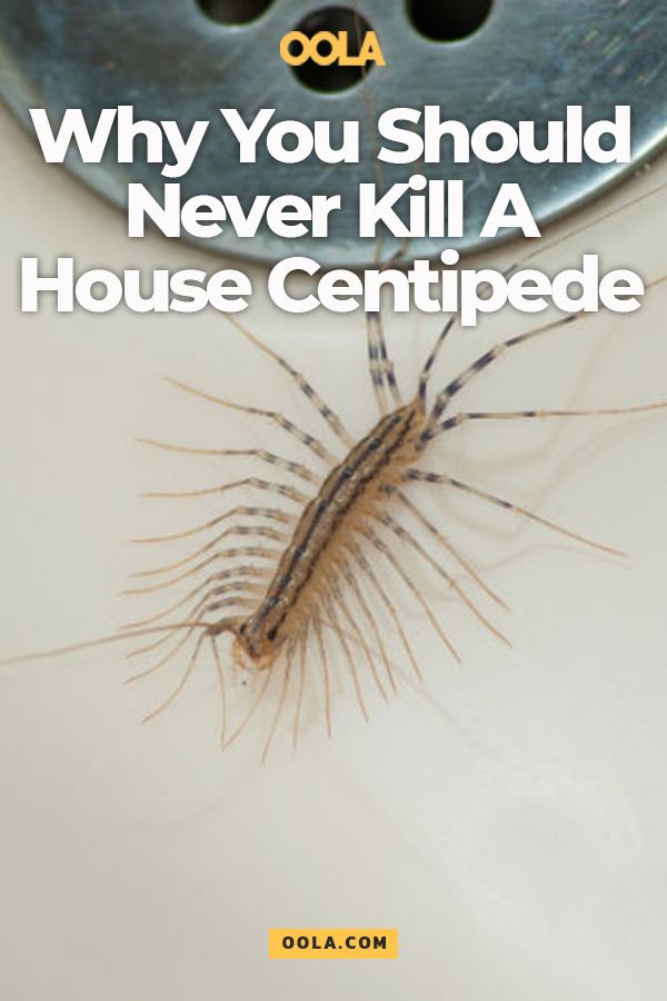 Why You Should Never Kill A House Centipede House Life How To