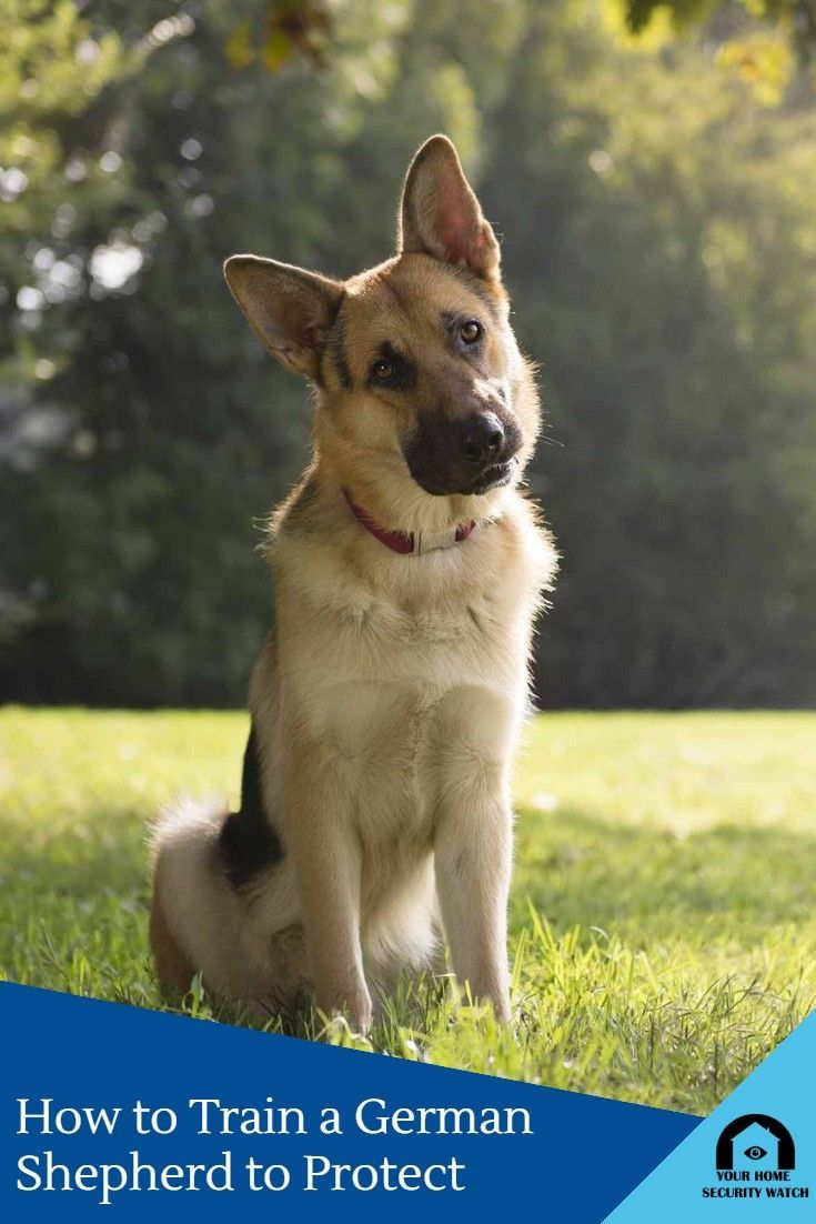 How To Train A German Shepherd To Protect Guard Dog Training German Shepherd Training German Shepherd Facts