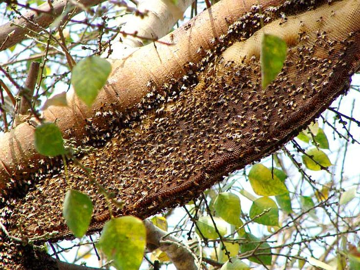 The story of Coorg Honey, cultivated on most coffee plantations.  Coorg, India