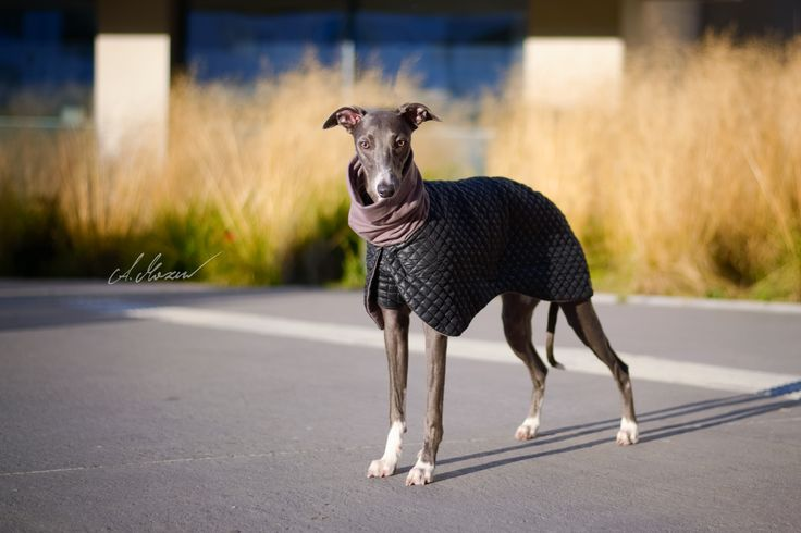 new Whippet coat design by zaCHARTowani. All rights reserved.