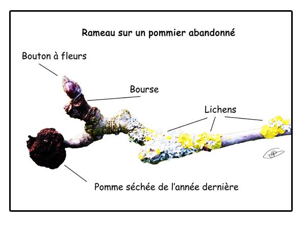 1000 id es sur le th me abricotier sur pinterest branch for Taille des abricotiers bergeron
