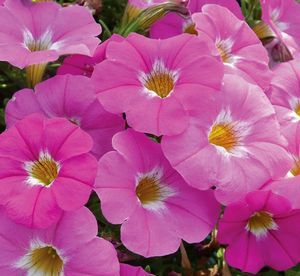Petchoa 'Supercal Pink Ice' Petchoa from Malmborg's Inc