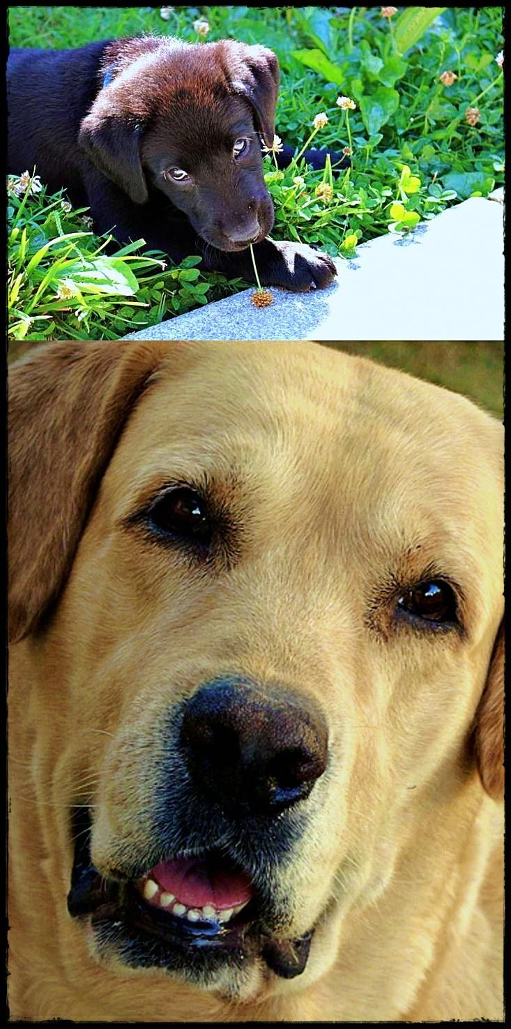 Labrador In Spanish You Want A Labradorquebec