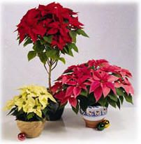 kamerplant: kerstster of Euphorbia pulcherrima