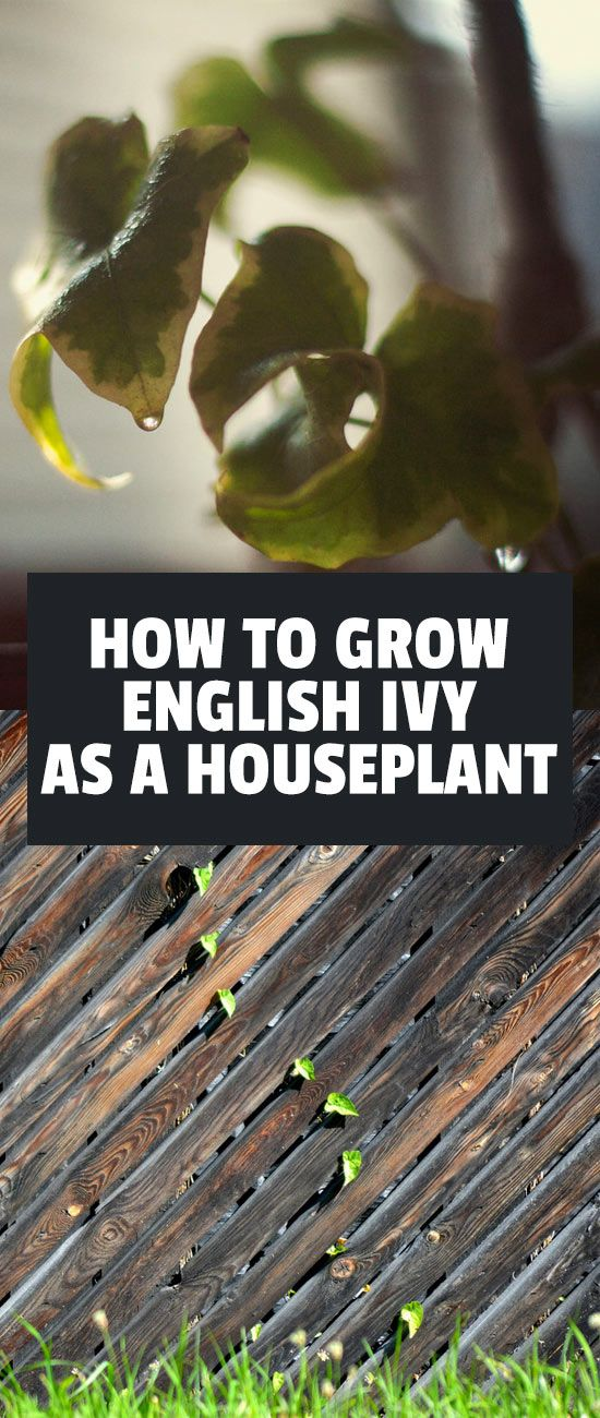 English ivy is a great houseplant due to its ease of care and quick growth. In this hedera helix care guide you'll learn everything you need to know!