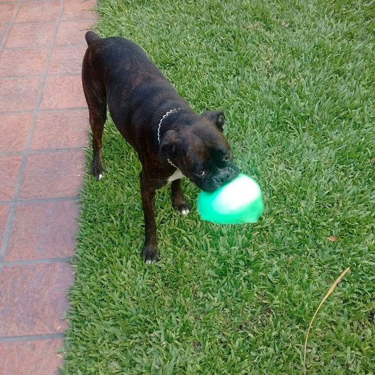 #Rocco ⚽ #Boxer #Atigrado
