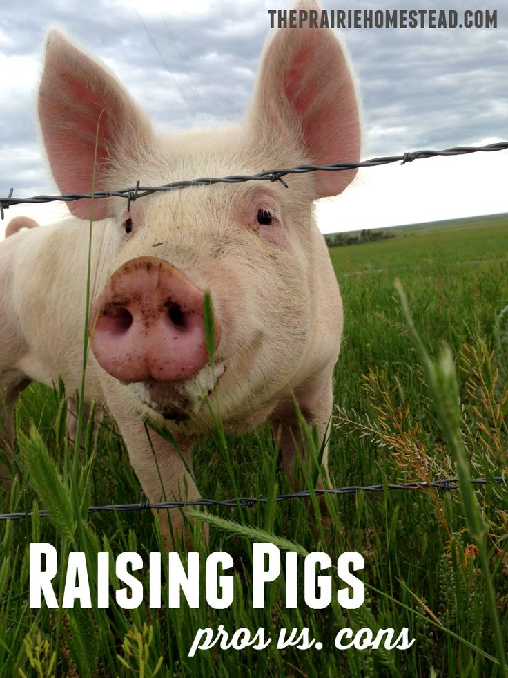 We've loved having pigs on our homestead, but this post about the pros and cons of raising pigs is right on!: