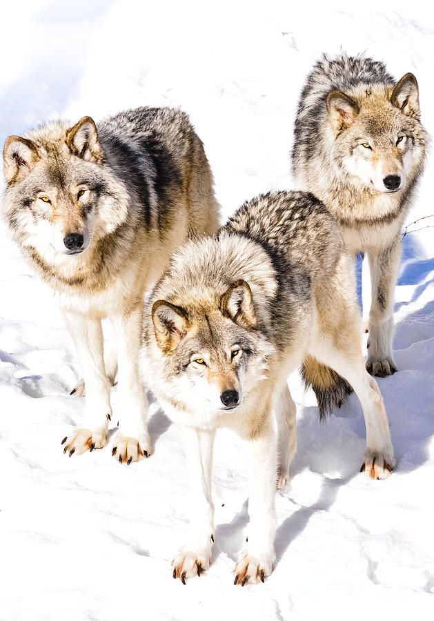 Three Timber Wolves by Cheryl Baxter