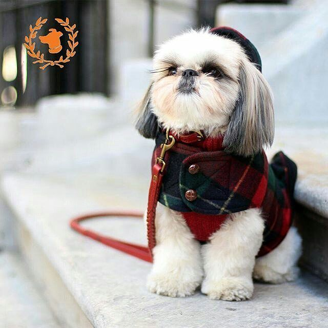 Image result for clothes for Shih Tzus