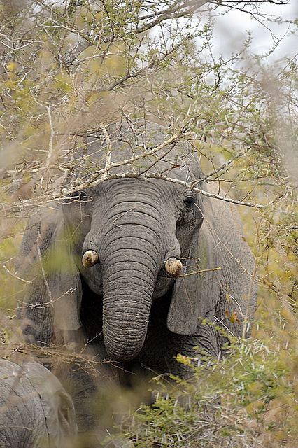 African elephant | Flickr - Photo Sharing!
