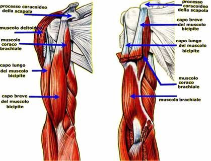 Pi Di 25 Fantastiche Idee Su Sistema Muscolare Su