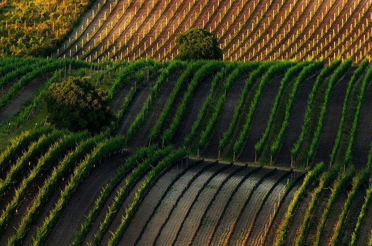 Vineyards of Pálava