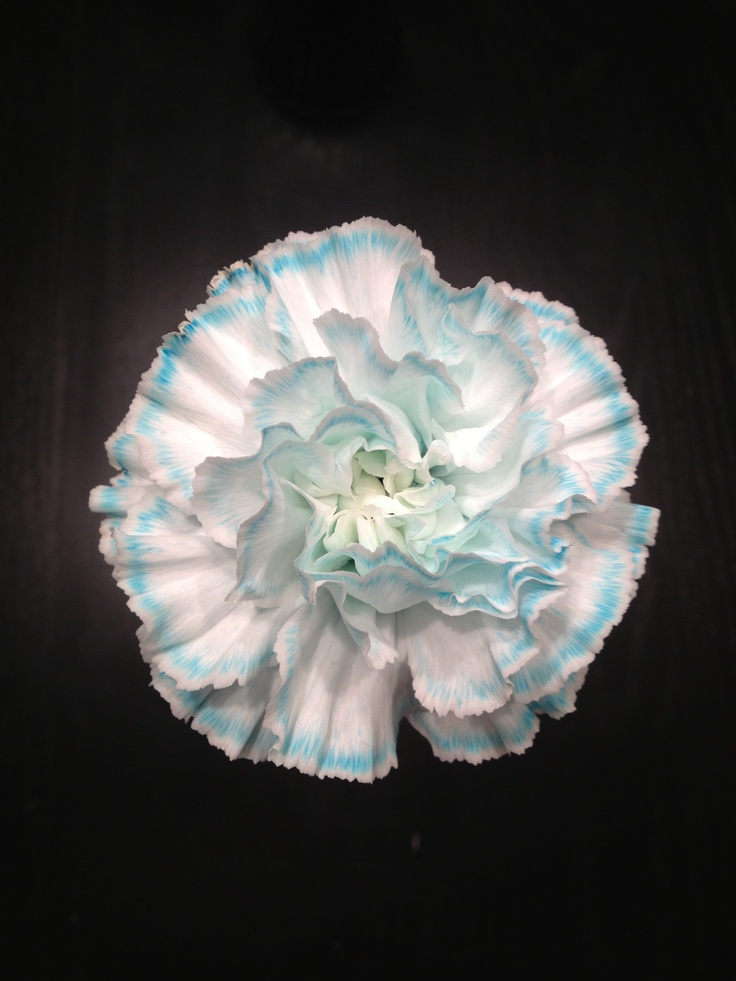 Made this flower using blue food coloring. Just added lots of blue to the water. Cool blue flower.