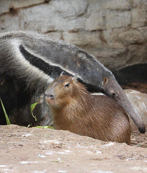 """CLEVELAND'S BESTIES: A capybara and a giant anteater have formed a best friendship while sharing an enclosure at the Cleveland Metroparks Zoo."""