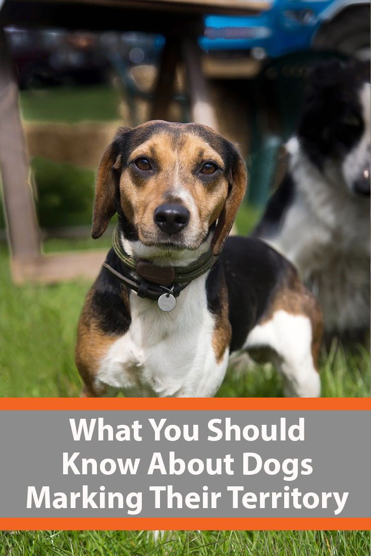 Why Do Dogs Mark Territory Dog Lovers Dogs Dog Behavior