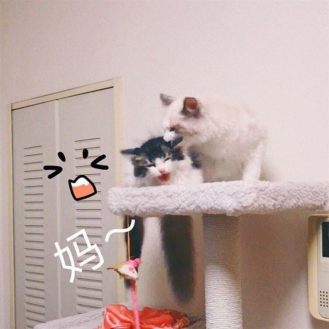 mum!!! #ragdoll#cat#pet#instagram#instacat#instaphoto#photo#노르웨이숲#고양이#냥이#펫#猫#ねこ#펫스타그램#냥스타그램#ペット#愛猫#写真#宠物#萌宠#萌#可爱#可愛い#ラグドール#cute#neco