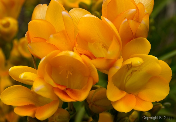 More Spring time flowers in back yard. Freesia.