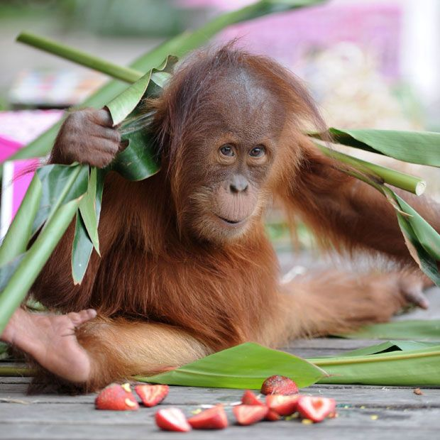Baby orangutan Dewi celebrates her second birthday at Melbourne Zoo, Australia  Picture: James D. Morgan / Rex Features