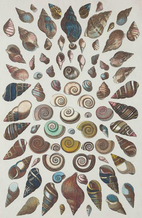 Albertus Seba - Locupletissimi rerum naturalium thesauri accurata descriptio - 1758 - via Wikimedia