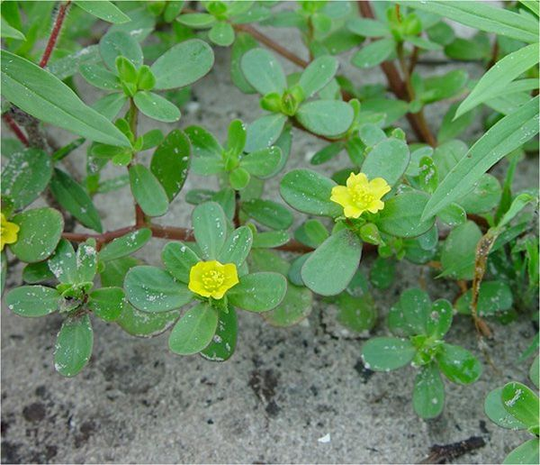 23 best yellow flowers images on pinterest yellow flowers exotic purslane lawn weeds with small yellow flowers drblade weeds lawnweeds mightylinksfo