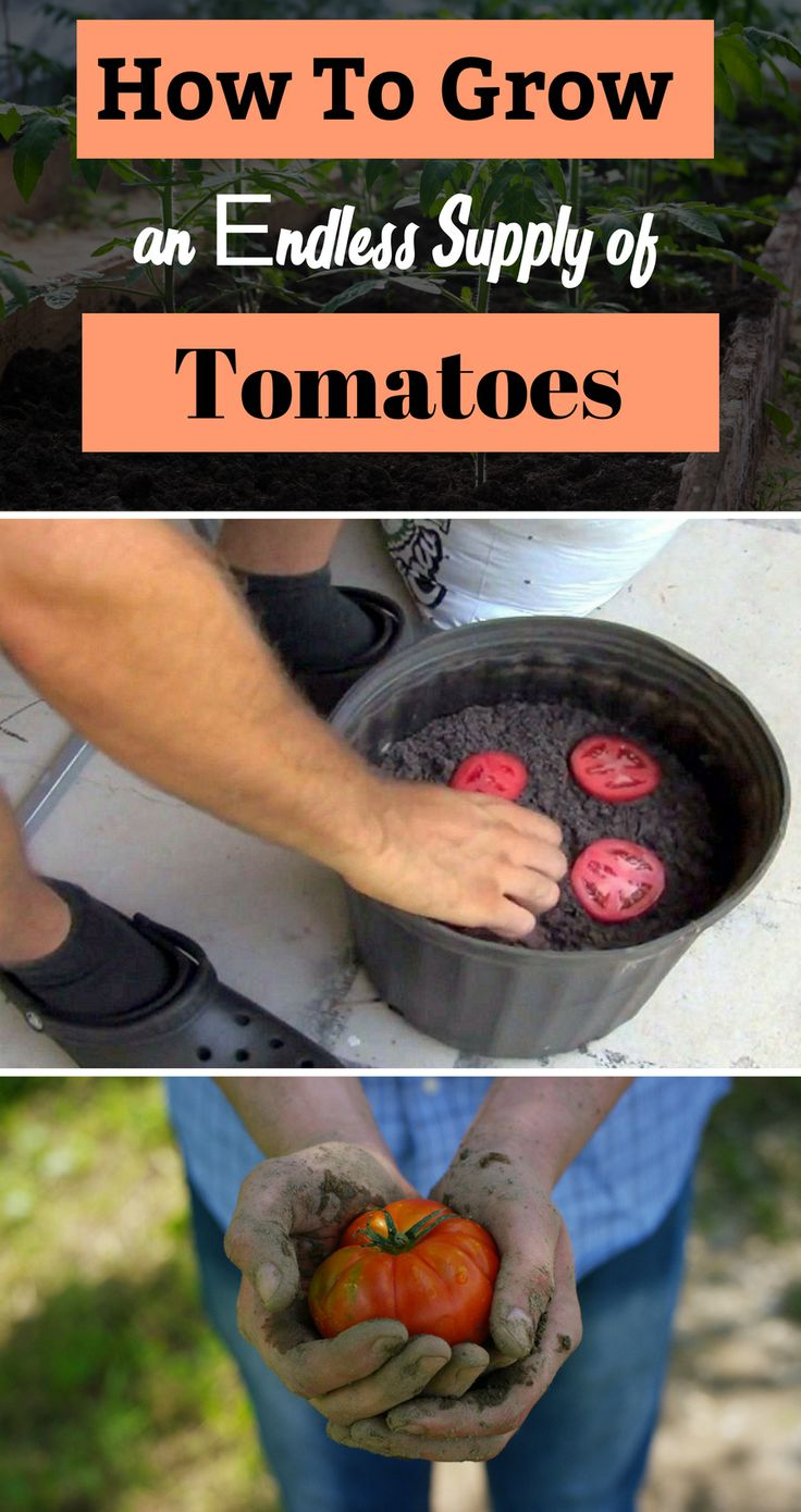 Easiest method to grow tomatoes at home from just fresh tomato slices