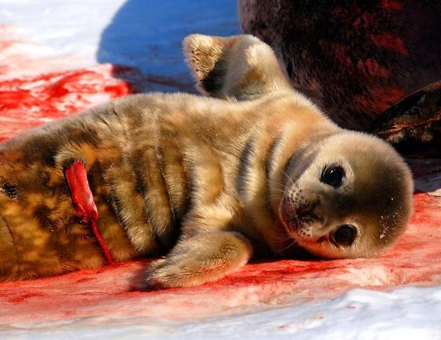Newborn baby Weddell seal, Mawson Station, Antarctica ...