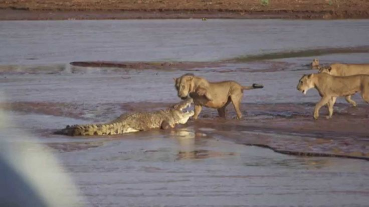 Lions vs. Crocodile Fight - Samburu National Reserve, Kenya (August 6, 2...