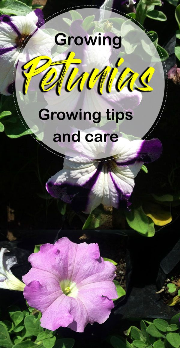 How To Grow Petunia In A Container Petunia Plant Petunia Care