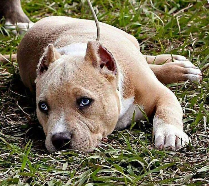 This is like the most beautiful PitBull I have ever seen!!