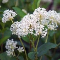 Ceanothus americanus, New Jersey Tea plant, Photo credit: prairie nursery