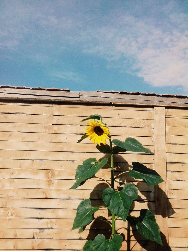 Sunflower | Romania | @vsco