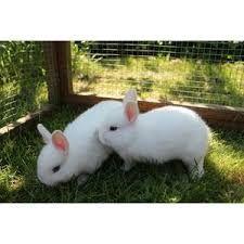 Billedresultat for hvide kaniner med blå øjne