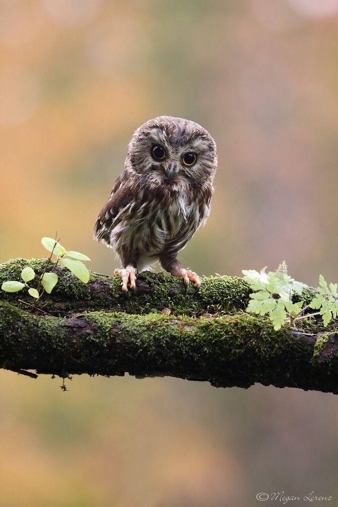 Saw whet owl.  You're cute!  Hoo me?  I want.