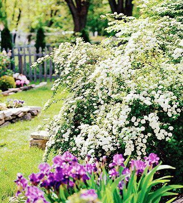 Romantic Life Style : Spirea   Plant Encyclopedia   BHG.com .