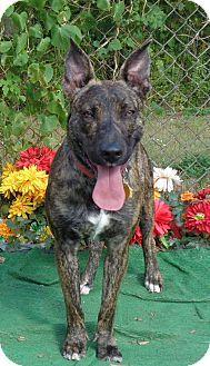 ADOPTED ❤️Marietta, GA - Dutch Shepherd Mix. Meet COOKIE, a dog for adoption. http://www.adoptapet.com/pet/11724987-marietta-georgia-dutch-shepherd-mix