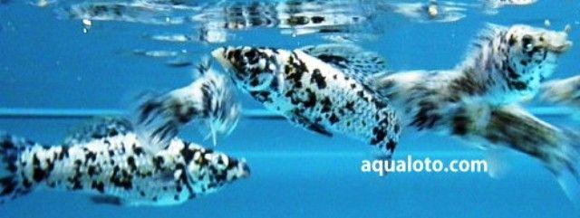 Peces mollys dalmata, peces para acuarios de agua dulce tropical. #peces de acuario #acuarios de agua dulce