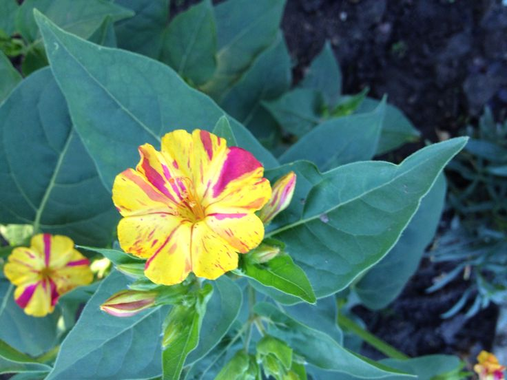 Japanische Wunderblume