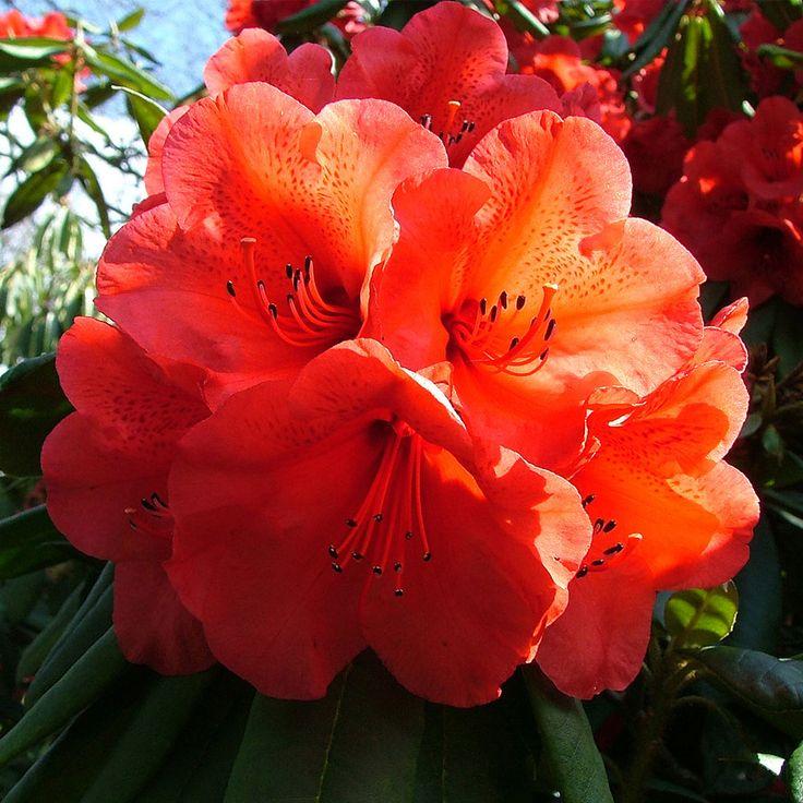 rhododendron 39 geisha orange 39 large plant shrubs. Black Bedroom Furniture Sets. Home Design Ideas