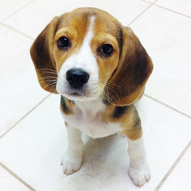 Simple Wisconsin Beagle Adorable Dog - 40dc2f7b524028e120233a00bca731eb--need-a-hug-beagle  Pictures_185948  .jpg