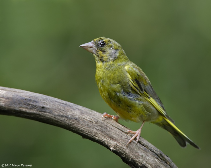 Greenfinch carduelis chloris greenfinch animals adorable