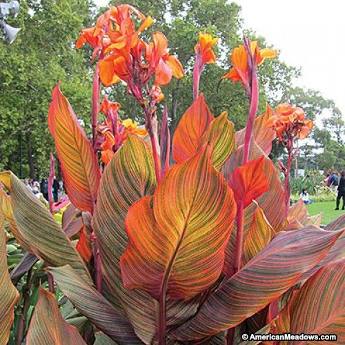 Orange Canna Lily Tropicanna, Canna Indica, Large Flowering Canna Lily