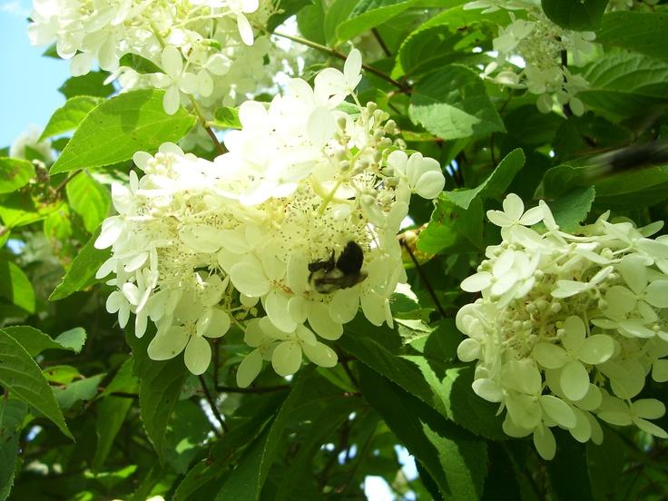 This bee loves the Hydrangea bush.