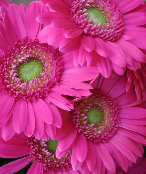 photo: Gerbera Daisies ... bright and beautiful ... hot pink ... luv the design with the three green centers forming a triangle ...