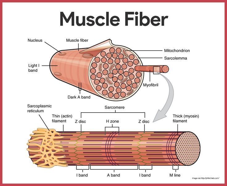 Pin by Ryan Roy on RN Muscular system anatomy, Muscular