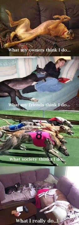 Greyhound life :)