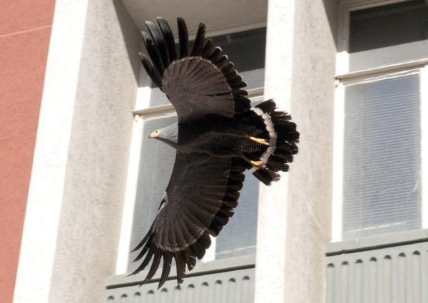 Pics: Harrier-hawk's urban takeaway - IOL SciTech | IOL.co.za