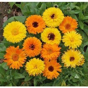 Calendula Pacific Beauty flower seeds