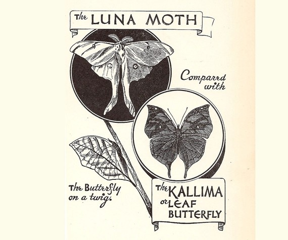 Luna moth scientific illustration - photo#25