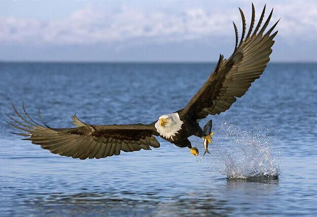.I was riding a Washington State ferry when a bald eagle plucked a salmon out of the water not more than ten feet from the boat's port side, directly opposite my window.  Stunning.